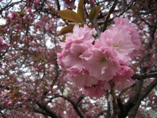 tree-pink