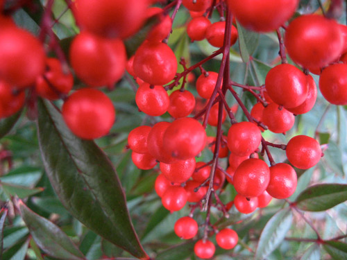 Photograph of red berries and green leaves.